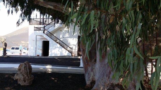 La Geria, Spania: Unter dem Eukalyptusbaum