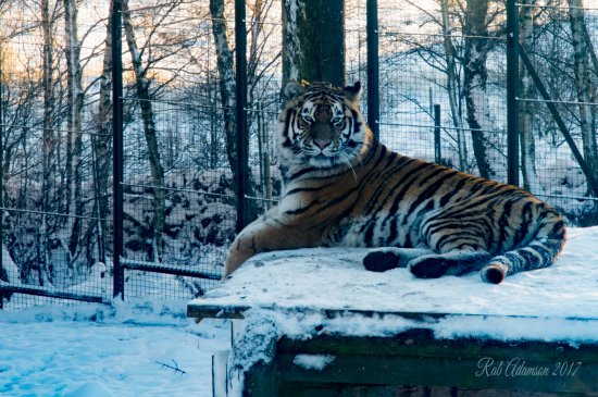 Kingussie, UK: Tiger