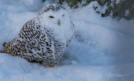 Kingussie, UK: Snowy owl