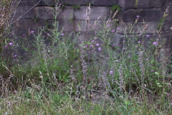 St. Catharines, Canada: Some wild flowers