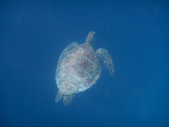 Dusit Thani Maldives: Another, larger, Hawksbill Turtle
