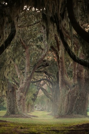 Avenue of the Oaks - the entrance to The Lodge at Sea Island.