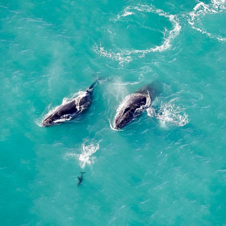 Wings Over Whales: Two Humpback Whales play with a Dusky Dolphin