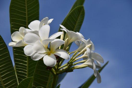 Rakiraki, Fiyi: Blumenpracht