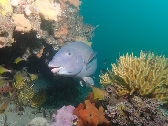 Nelson Bay, Australia: SCUBA Diving with Big Blue Groupers @ Fly Point
