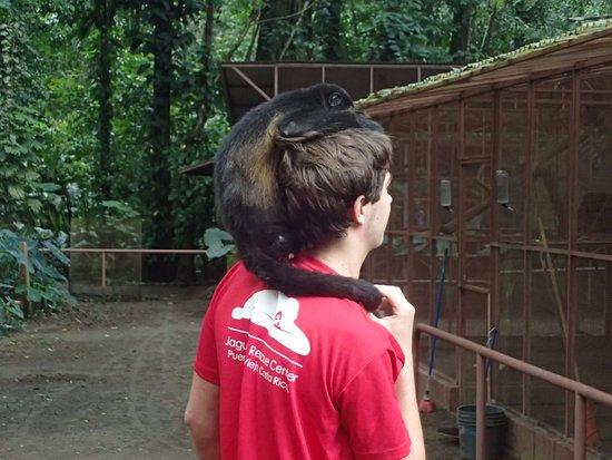 Foundation Jaguar Rescue Center: Female Howler Monkey missing right leg