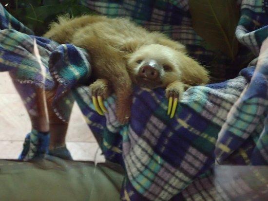 Foundation Jaguar Rescue Center: Baby 2 Toed Sloth