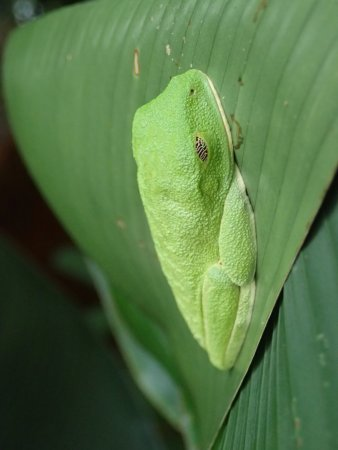 Foundation Jaguar Rescue Center: Sleeping Frog