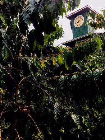 Hula Daddy Kona Coffee: Coffee Clock