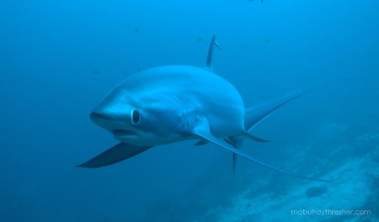 Daanbantayan, Filipina: Thresher shark swimming towards the camera