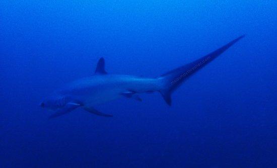 Daanbantayan, Philippines: Thresher sharks side view