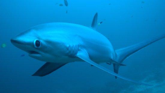 Daanbantayan, Philippines: Thresher shark looking at the camera close distance