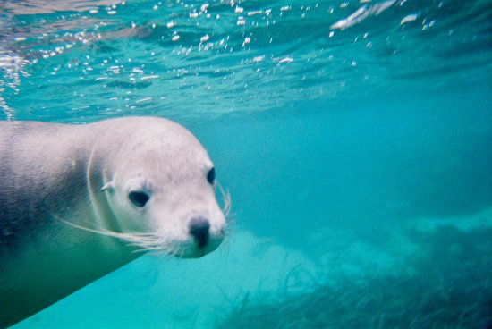 ออสเตรเลียใต้, ออสเตรเลีย: Underwater with Australian Sea Lion watching me watching him.