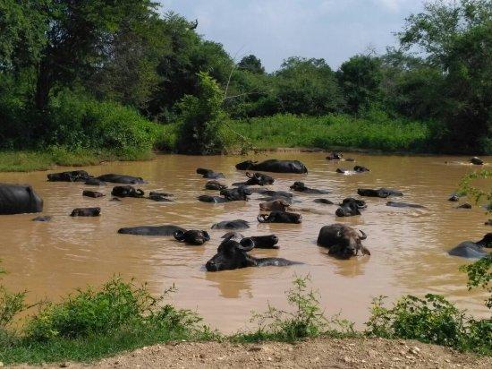 Uda Walawe National Park, Σρι Λάνκα: IMG_20171209_100333_large.jpg