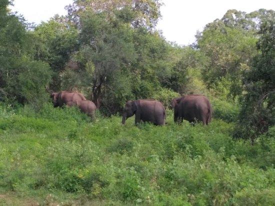 Uda Walawe National Park, Σρι Λάνκα: IMG_20171209_100009_large.jpg