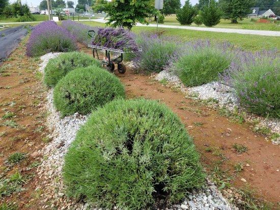 Southern Hills Lavender