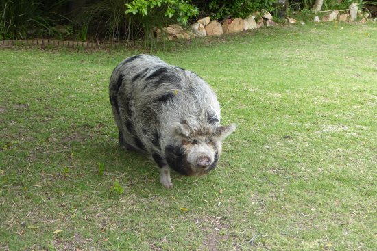 Fynbos Ridge Country House & Cottages: Pot-Bellied Pig