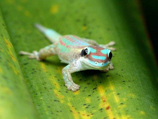 Chamarel: Gecko