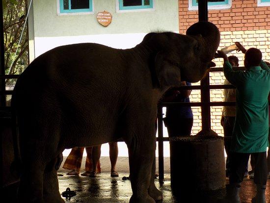 Pinnawala, Sri Lanka: Baby feeding