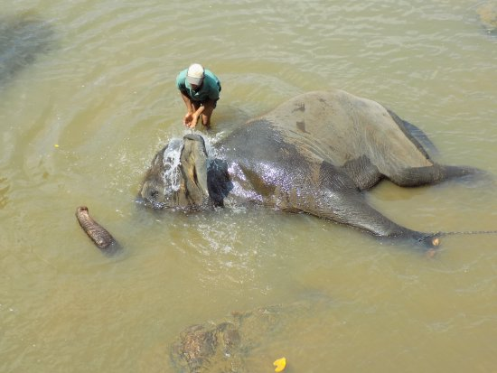 Pinnawala, Sri Lanka: Bath time