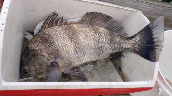 South Brunswick, Kuzey Carolina: Black Drum caught off Waterway Campground pier in 11/2017.