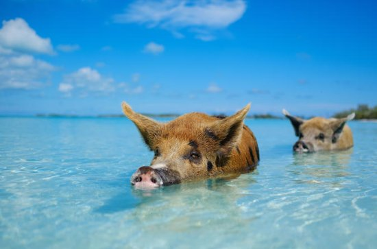 Full Day Small Group Tour to Pig Beach by Power Boat