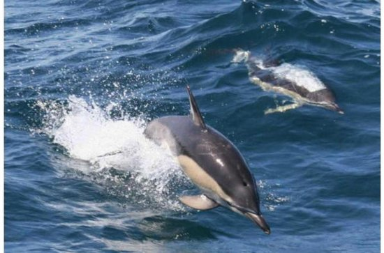 Royal Dolphin Half Day Whale watching excursion in Tenerife