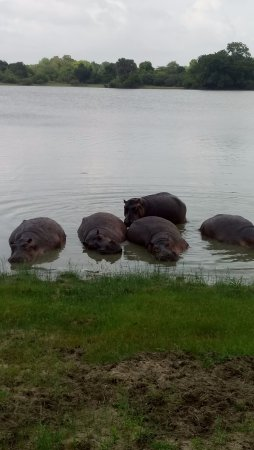 Région de Dar Es-Salaam, Tanzanie : A close view of Hippos at river Rufiji