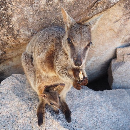 Magnetic Island, Australien: Bring carrots, sweet potatoes to feed them!
