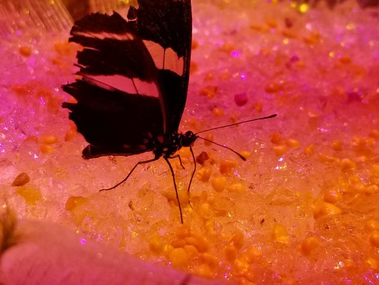 Brossard, Canada: Papillon entrain de boire