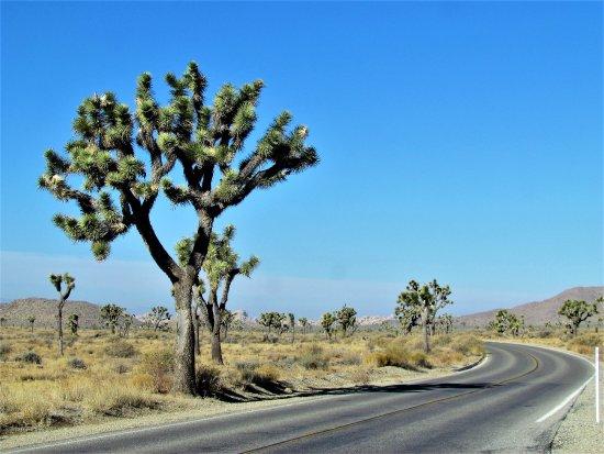 Twentynine Palms, CA: Joshua trees