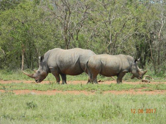 St Lucia, South Africa: White Rhino