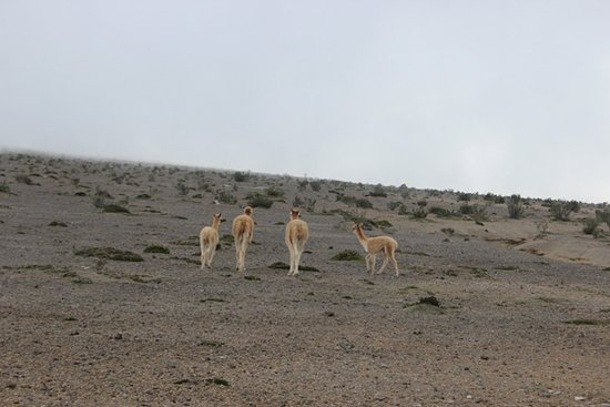 Guaranda, Ecuador: Paesaggio con vigogne