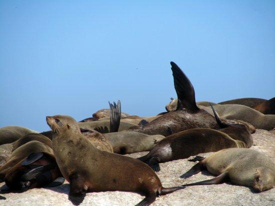 Hout Bay, South Africa: Foche al sole
