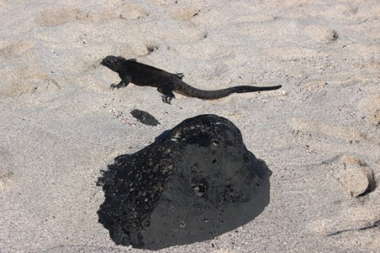 San Cristobal, เอกวาดอร์: Iguana