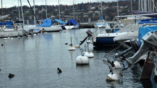Genebra, Suíça: Хохлатые чернети на пролете на Женевском озере.
