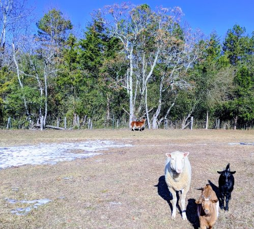 Sunrise Farm Bed and Breakfast: FARM animals right at your BnB!