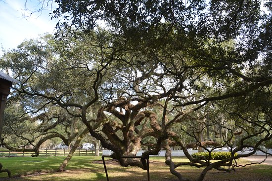 Destrehan Plantation: Live Oak