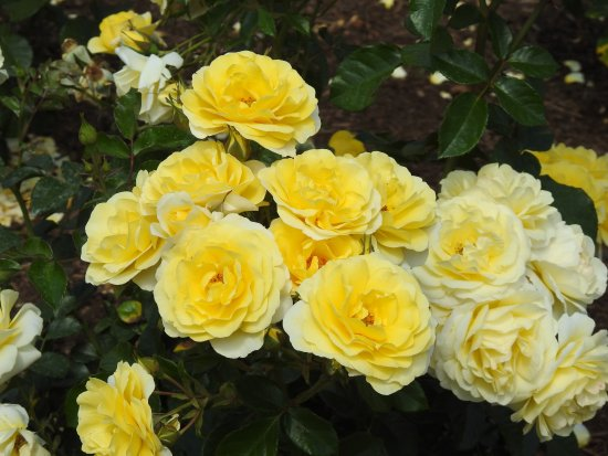 Parnell Rose Gardens: Red is great - yellow brings perfume too.