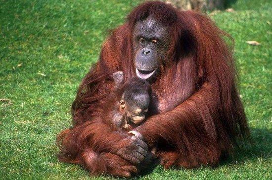 Semenggoh Orangutan Centre with...