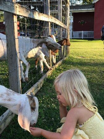 Greenville, NY: Feeding the Goats