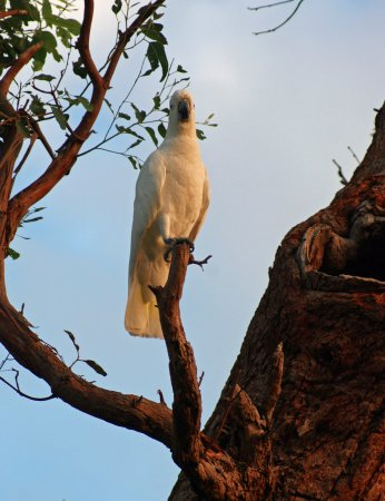 Fairlight, Australia: cockatoo