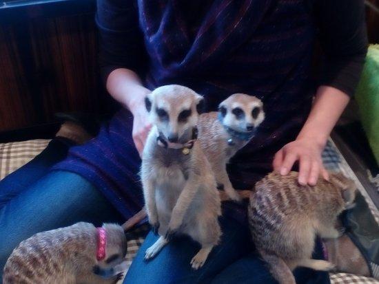 Koshigaya, Japonya: meerkat