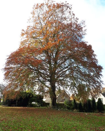 Minchinhampton, UK: The Copper Beech in Autumn