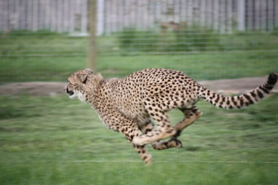 Paarl, África do Sul: Cheetah in action in the running enclosure