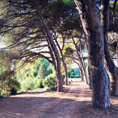 Пиргос, Греция: Under the shade of the old pine trees