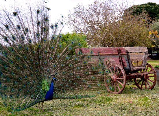 Пиргос, Греция: A peacock, one of the many animals of the estate