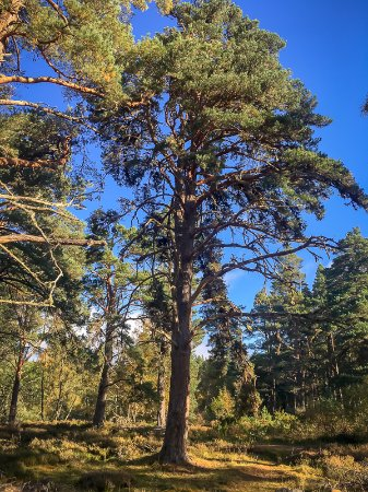 Aviemore, UK: These old trees lose their lower branches as they grow