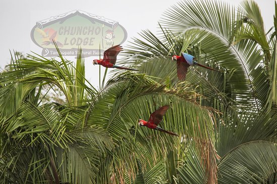 Tambopata National Reserve, Peru: Scarlet Macaws flying