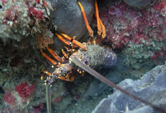 Lower Hutt, Νέα Ζηλανδία: Crayfish aka Red Rock Lobster